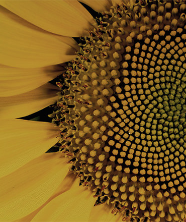 closeup of the center of a sunflower in full bloom